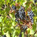 OPC Extracto de pepitas de uva